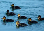 tg_ducklings6_small