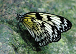 tg_butterfly_yellow_small