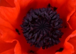 red_poppy_small